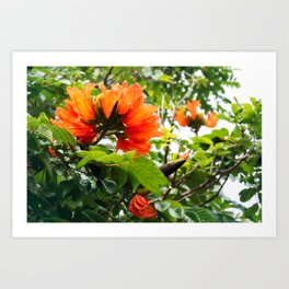 The beautiful red flowers of the African Tulip Tree Art Print
