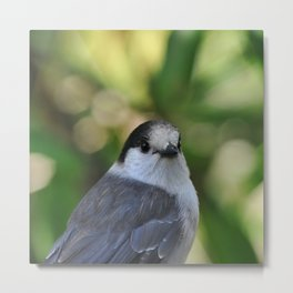 Gray Jay Portrait, Mt. Walker Metal Print
