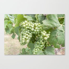 Capercaille Grapes Canvas Print