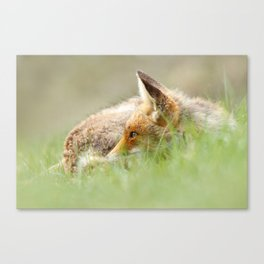 Sleeping Beauty .:. Red Fox relaxing in the Grass Canvas Print