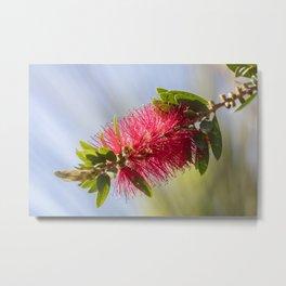callistemon red flower in bloom Metal Print