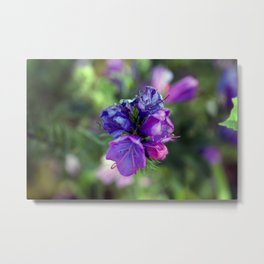 Viper's bugloss blue and pink flowers 1 Metal Print