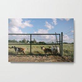 Goats on the Farm Metal Print
