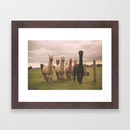 Alpacas at Tio Farm Framed Art Print