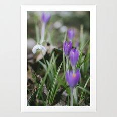 Spring Crocus flowers growing among Snowdrops. Norfolk, UK. Art Print