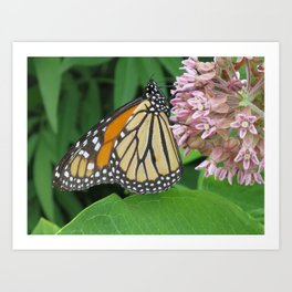Monarch and Milkweed Art Print