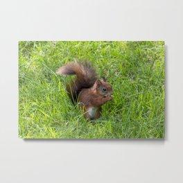 Red Squirrel. Metal Print