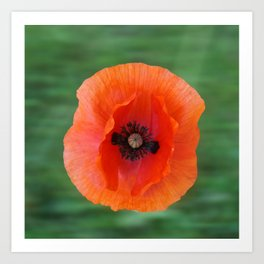Floating poppy Art Print