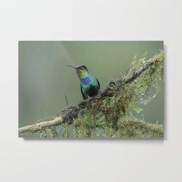 Costa Rican Fiery-throated Hummingbird in the rain Metal Print