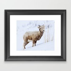 Big Horn Sheep in the Snow Framed Art Print