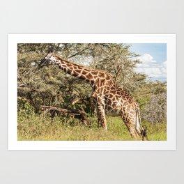 African Giraffe Snacking - Serengeti Tanzania 5068 Art Print