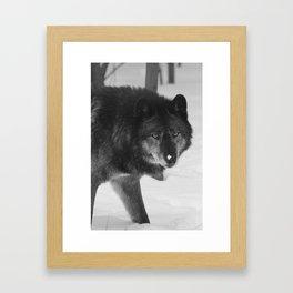 British Columbian Wolf Framed Art Print