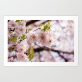 Pink Blossoms III Art Print