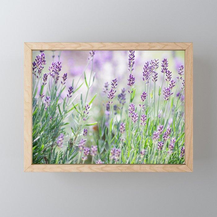 Lavender in summer garden Framed Mini Art Print