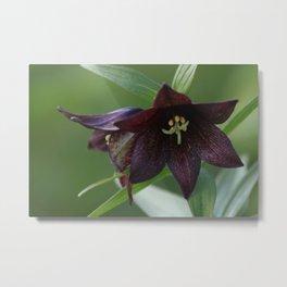 Chocolate Lily Photography Print Metal Print