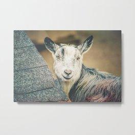Shy Goat Metal Print