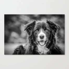 Border Collie Watching Canvas Print