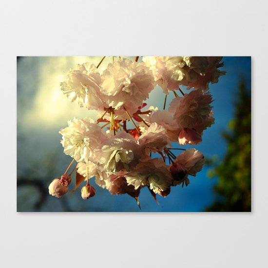 Cherry Blossoms in Hood River, Oregon Canvas Print
