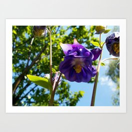 Violet flower- Campanula medium Art Print