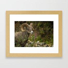 Ram Eating Fireweed Framed Art Print