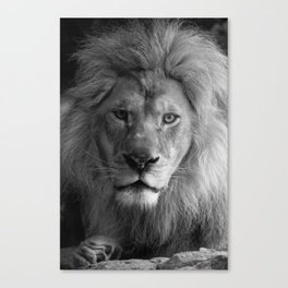 A Lion's Gaze Canvas Print