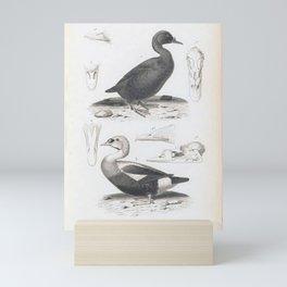 070 Common Scoter anas nigra ans spectabilis6 Mini Art Print