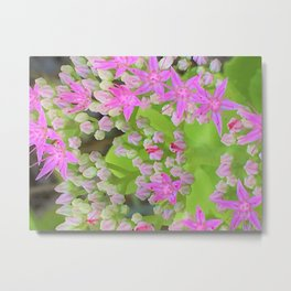Hot Pink Succulent Sedum with Fleshy Green Leaves Metal Print