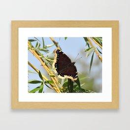 Mourning Cloak Butterfly Sunning Framed Art Print