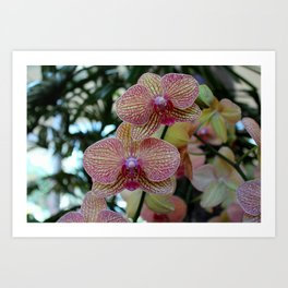 Peabody Orchid II Art Print