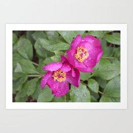 wild peony in the rain Art Print