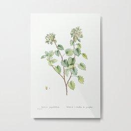 Sedum Populifolium (Poplar Leaved Stonecrop) from Histoire des Plantes Grasses (1799) by Pierre-Jose Metal Print