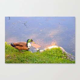 Duck Going for a Swim Canvas Print