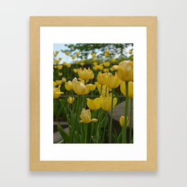 Grouping of Yellow Tulips Framed Art Print
