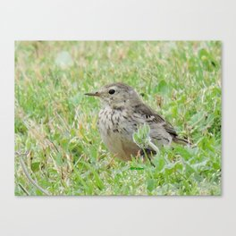 Pipit on the Lawn Canvas Print