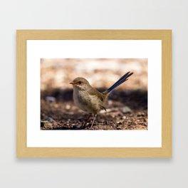 Superb Fairy-Wren Framed Art Print