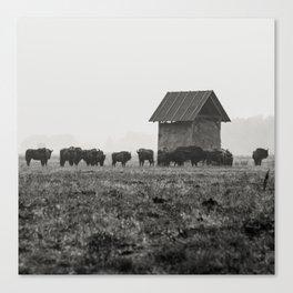 European Bison, Białowieża National Park Canvas Print