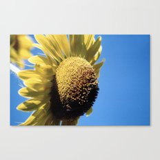 Bulging Sunflower Canvas Print