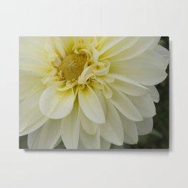 Swirly petals on a White Chrysanthemum Metal Print