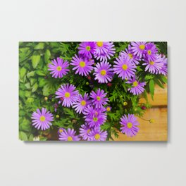 Floral background, purple daisy Marquerite, Felicia amelloides, Lila Kapaster. Multicolored spring Metal Print