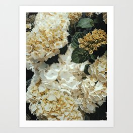 Hydrangeas bleed Art Print