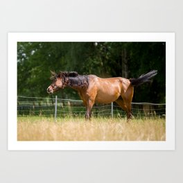 Royal class of horses, an Arabian thoroughbred Art Print