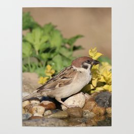 Sparrow at water Poster