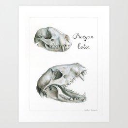 Procyon lotor Skull Art Print