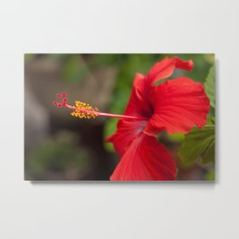 Close up of a Red Hibiscus Metal Print