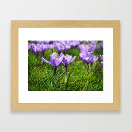 Purple Crocuses Framed Art Print