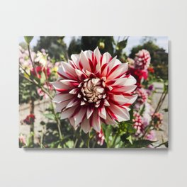Dahlia In The Garden / 29 Metal Print