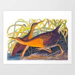 Great Red Breasted Rail John James Audubon Scientific Birds Of America Illustration Art Print
