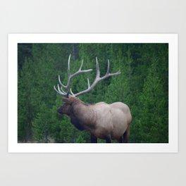 Male Elk in Yellowstone Art Print