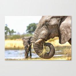Elephant Eating Grass Canvas Print