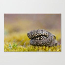 Water Snake - Natrix maura Canvas Print